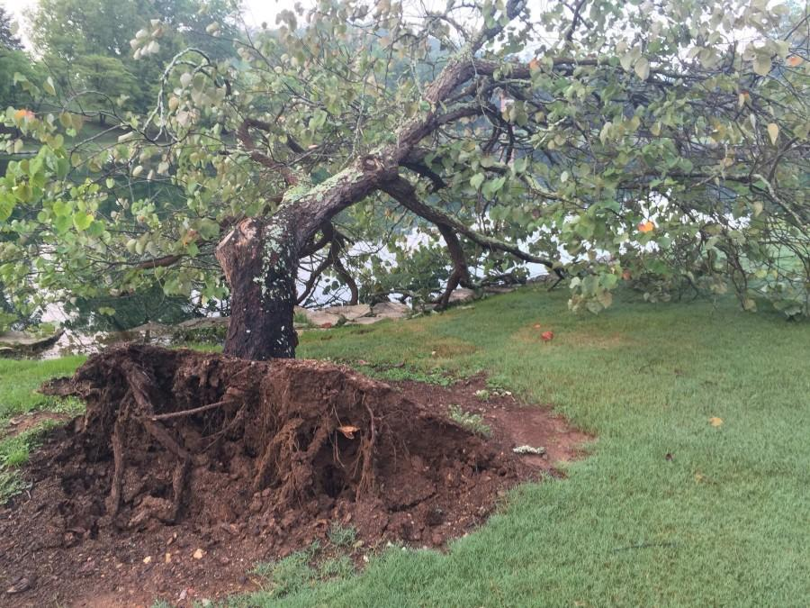 A tree lies overturned beside Silver Lake.